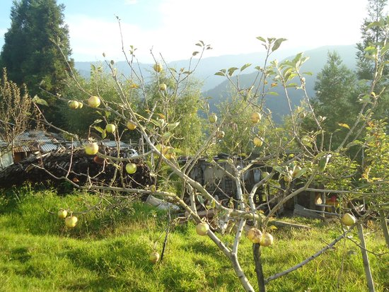 Bomdila, Indien: An apple tree, with some apples hanging.
