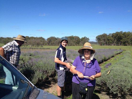 Aloomba Lavender Farm: Lavender Harvest
