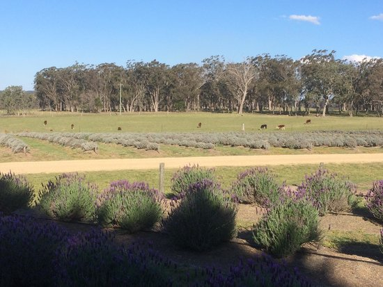 Aloomba Lavender Farm: Springtime, too early for much blossom.