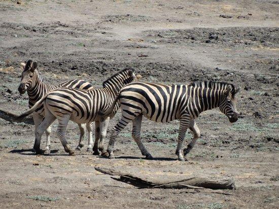 Sanctuary Makanyane Safari Lodge: Makanyane Zebras