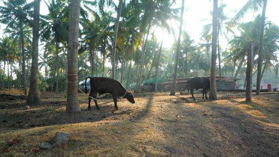 Cows above Varkala beach