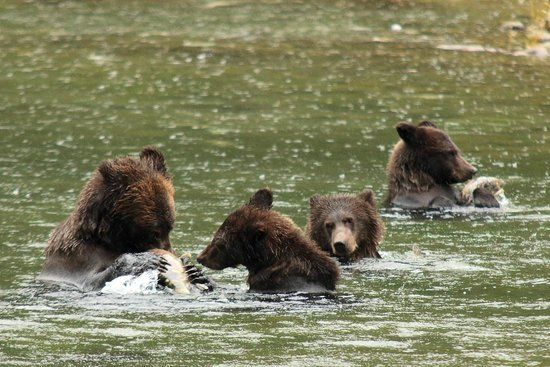 Spirit Bear Lodge : Grizzly mother with three cubs