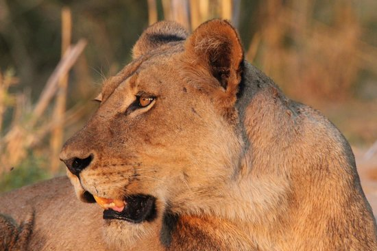 Sausage Tree Camp : Lion