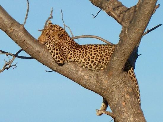 Impodimo Game Lodge: leopard