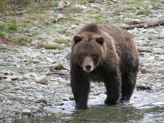 Discovery Marine Safaris Ltd. : Grizzly Bear