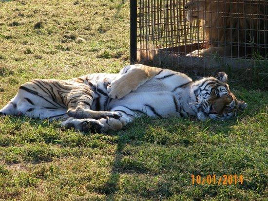 Turpentine Creek Wildlife Refuge: relaxing