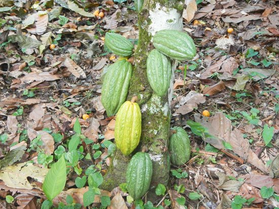 Chocorart: Cacao On The Tree