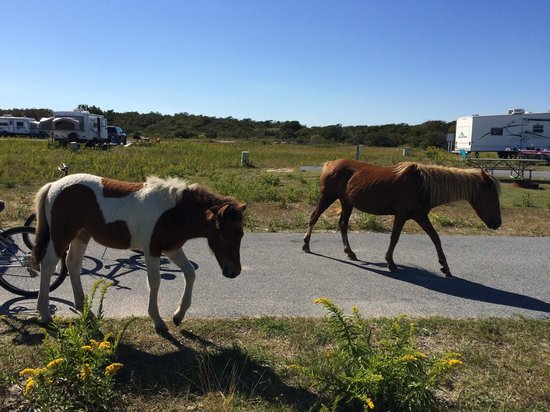 Assateague State Park Camping: Horses leaving our campsite - Mama and baby.