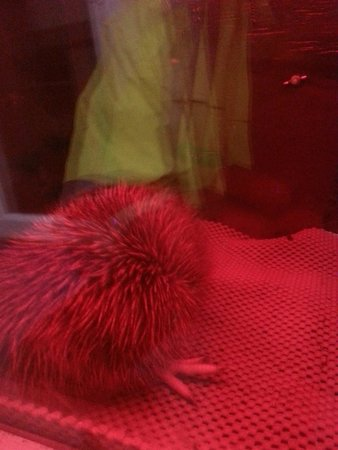 West Coast Wildlife Centre : newly hatched Kiwi chick
