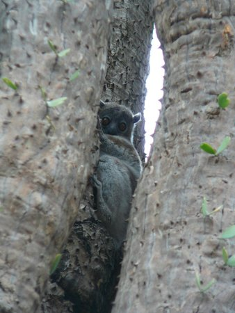 Mandrare River Camp: White Footed Sportive Lemur in the Sacred Foest nearby
