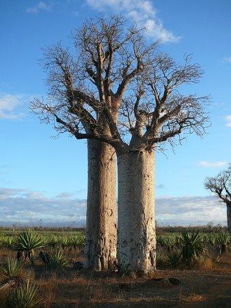 Mandrare River Camp: Baobabs at sunset