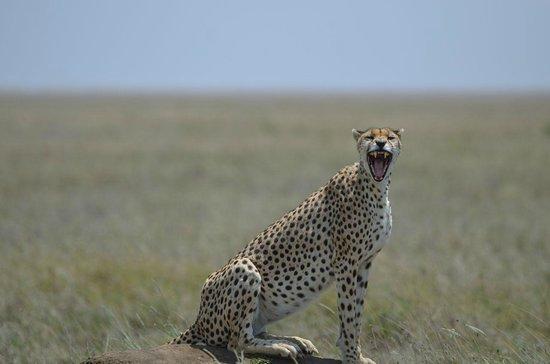 Namiri Plains, Asilia Africa: Cheeta close to Namiri Plains