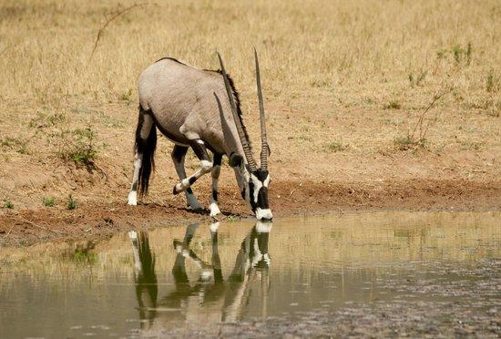 Okonjima Game Reserve : Gemsbok 'Oryx'