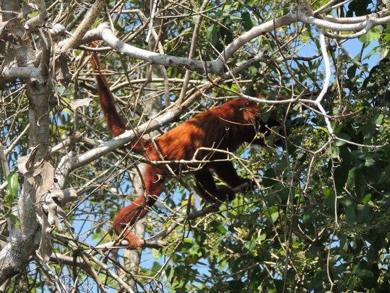 River Yacuma: Mono aullador (Alouatta seniculus)