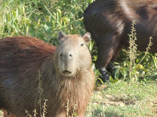 River Yacuma: Capibaras