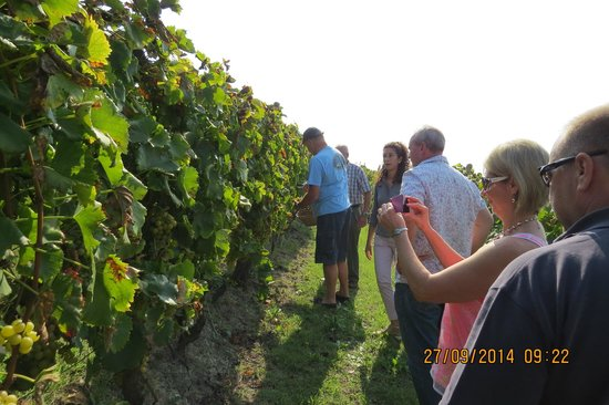 Canelli, Italia: Tour of the vineyard, how to pick grapes