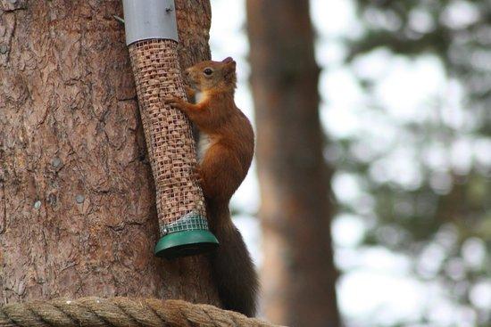 RSPB Loch Garten: Red Squirrel on Feeder
