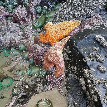 Quality Inn Seaside Oregon: Sea stars at Ecola State Park