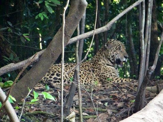 Ivy Mara Ey Lodge : Jaguar seen on river bank on boat ride to Ivy Mara Ey