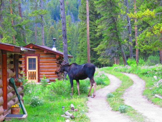 Flat Creek Ranch: July 2014 - Why did the Moose cross the road at Flat Creek Ranch?