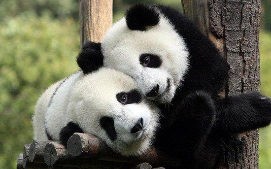 Holiday Inn Express Edinburgh Airport: Edinburgh Zoo - Come see the Pandas only 10 minutes away