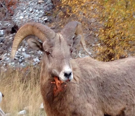 The Broad Axe Lodge: Big horn sheep