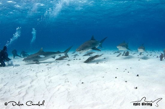 Tiger sharks bahamas foto di epic diving west end - Immagini di dive ...