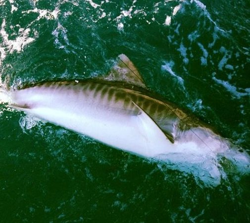 Huge 500 pound plus tiger shark aboard fishmisshayden for Cape coral fishing charters
