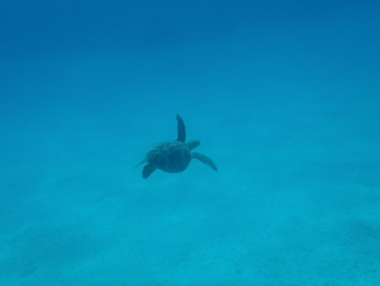 Aitutaki Adventures: Sea turtle