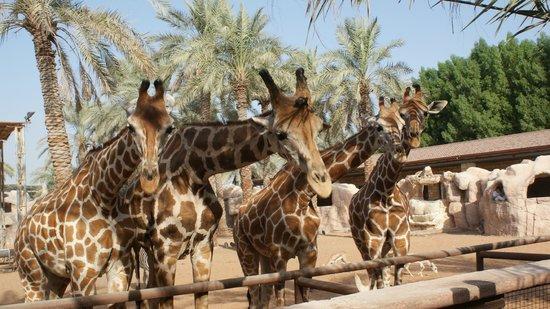 Emirates Park Resort: Mornings are best for feeding the giraffes.