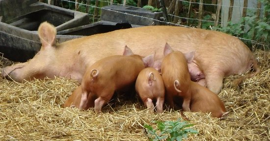 Weald & Downland Living Museum: Tamworth Pig and Piglets
