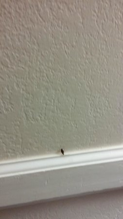 La Quinta Inn Fort Myers Central: Roach on the wall
