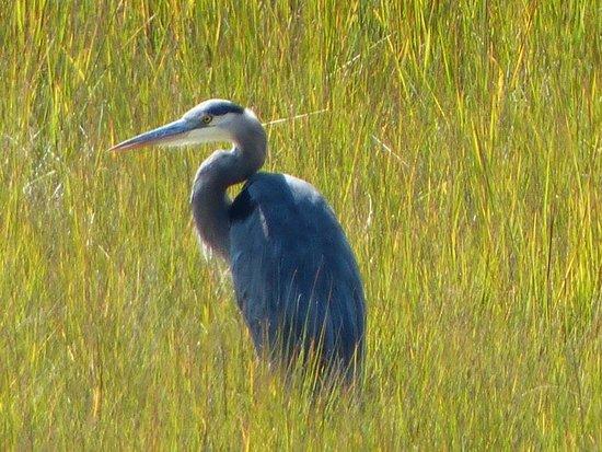 Inn at the Moors: great blue heron in marsh