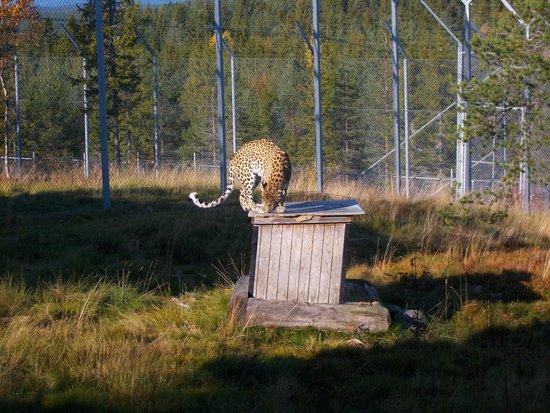 Orsa Bjornpark : Persiska leoparden