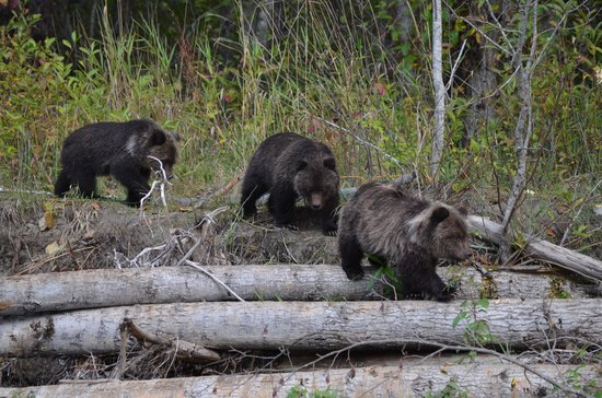 Tweedsmuir Park Lodge : 3 adorable cubs
