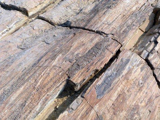 Petrified Forest : Petrified wood and bark