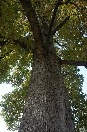 Dark Island Swinging Bridge: huge tree before bridge