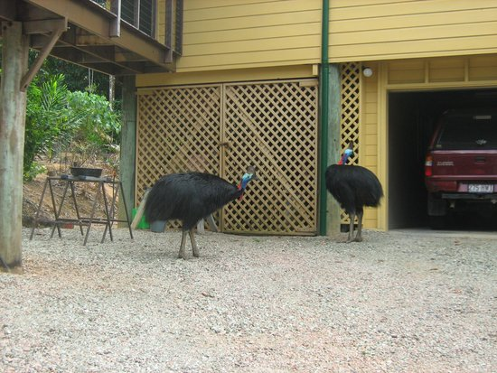 Licuala Lodge: Cassowaries looking at shed