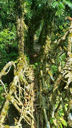 Double Decker Living Root Bridge: Single Root bridge on way of Round trek