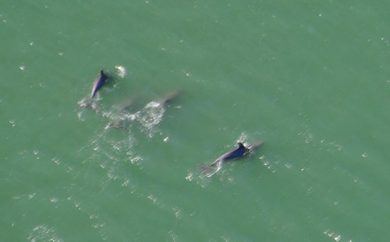 Coastal Helicopters: Dolphins