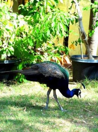 Hotel Anuraag Villa: resident peacock