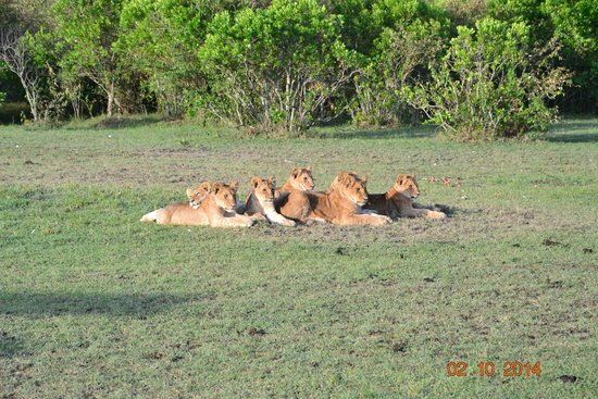 Fig Tree Camp : The pride and its Cubs