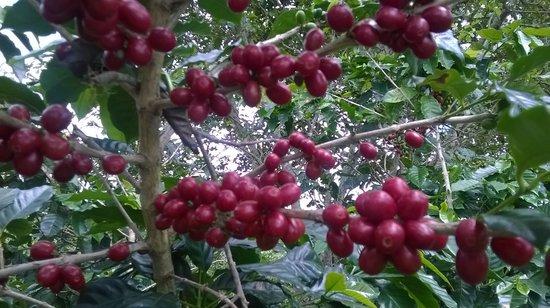 Hacienda Pomarrosa : El cafe en su maximo esplendor