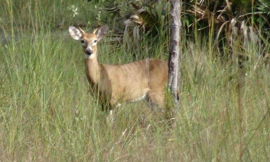 Captain Steve's Swamp Buggy Adventures: Deer in the Glades.