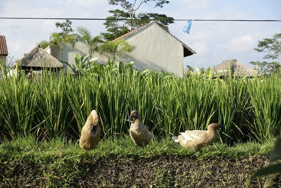 Ducks Outside The Villa Picture Of Alam Puisi Villa Tampaksiring Tripadvisor