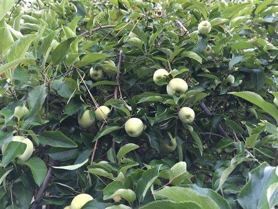 Blackberry Inn at Yosemite: Fully laden Apple tree in the parking lot :)