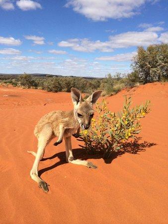 The Kangaroo Sanctuary Alice Springs All You Need To Know - Kangaroo sanctuary alice springs