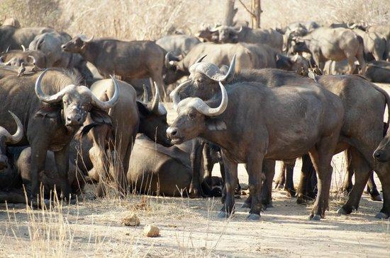 Jongomero : saw huge herds of buffalo