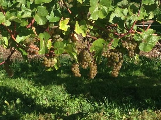 Wolfville Magic Winery Bus: l'Acadie Blanc ready for harvesting by hand