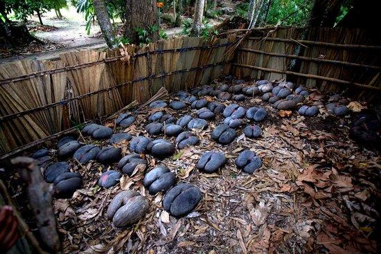 เกาะพราสลิน, เซเชลส์: Coco de mer pods are left to germinate, after which they will be planted